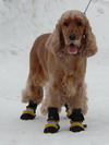 Simon dog boots salt